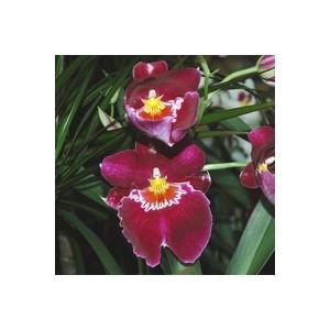 Miltonia 2 Branches botanic® Pot Ø12 cm 803289