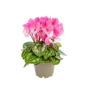 Cyclamen plante baby Ø 5,5/6 cm 803365