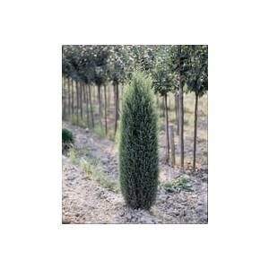 Cyprès Cupressus Sempervirens Pyramidalis 100/125 cm en pot de 10 L 914714