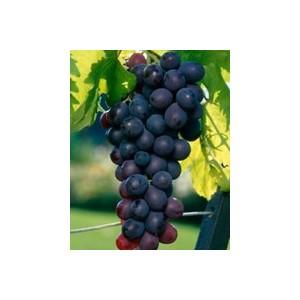Vigne Chasselas doré en conteneur de 3 L 807371