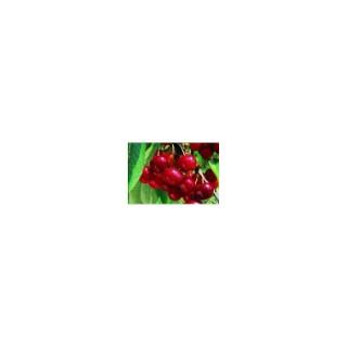 Cerisier Bigarreau Van 1/2 tige 6/8 en conteneur de 12 L 866001