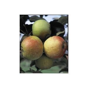 Pommier Melrose 1/2 tige 6/8 racines nues 818669