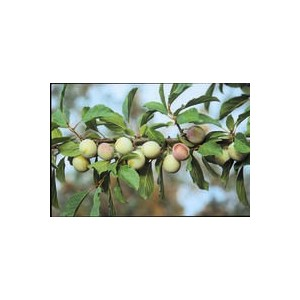 Prunier Reine Claude D'Oullins 1/2 tige 6/8 racines nues 806892