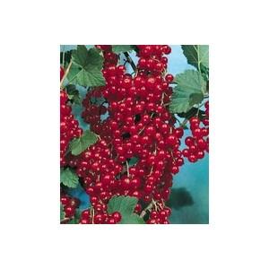 Groseillier Versaillaise Rouge touffe en conteneur de 25 L 474448