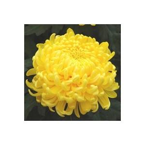 Chrysanthème grosses fleurs. Le pot de 1 litre 964157