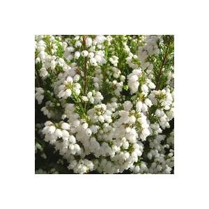Bruyère gracilis blanche. Le pot de 10.5 cm 809221