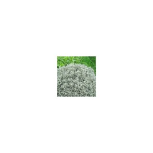 Santoline grise en pot de 2,5 L 392177