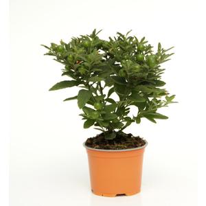 Pommier d'amour orange en pot de 1 L Ø 13-15 809291