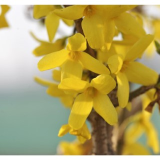 Forsythia Intermedia Lynwood Gold– Pot de 10L 809315