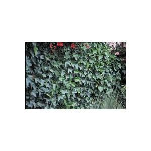 Lierre des Bois Hedera Helix Hibernica vert 80/100 cm en pot de 5 L 395868