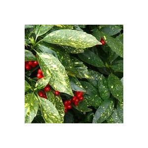 Aucuba Japonica Crotonifolia jaune 40/60 cm en pot de 7 L 907588