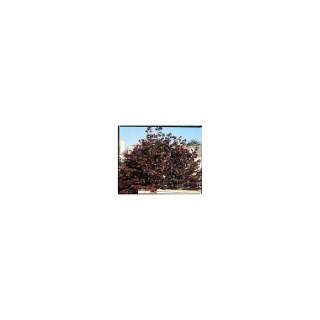 Corylus Maxima Purpurea – Pot de 7L 810527