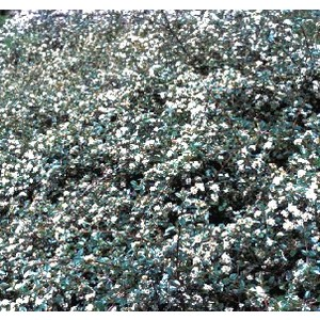 Cotoneaster Damneri Skogholmen 40/60 vert en pot de 3 L 810550