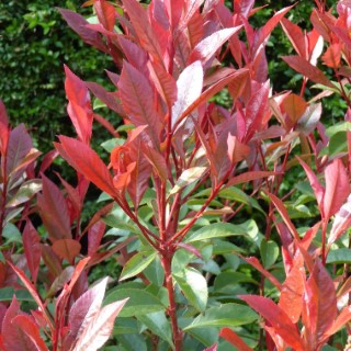 Photinia Fraseri Red Robin ½ Tige en pot de 18 L 925643