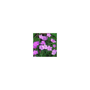 Dianthus Deltoides. La barquette de 6 plants 810942