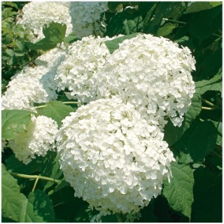 Hortensia Arborescens Annabelle - pot 5 L 812623