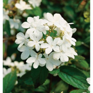 Viorne Plicatum Watanabe - pot 5 L 815865
