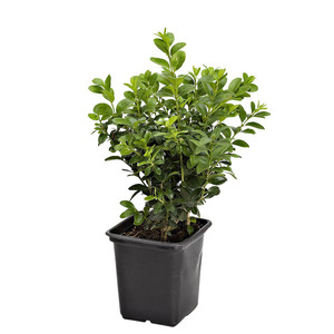 Buis (BUXUS MICRO. FAULKNER) Le godet 816349