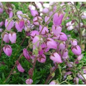 Calluna Daboecia. Le pot de 10.5 cm 909872