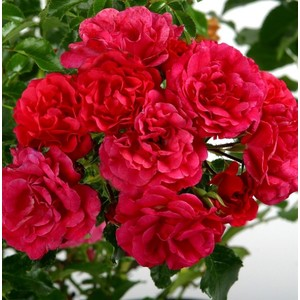 Rosier emera rose avec pot bleu de 5 L 139319