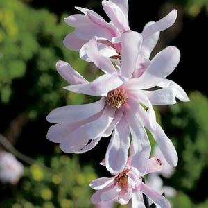 Magnolia Loebneri Leon Messel - pot 7 L 818139