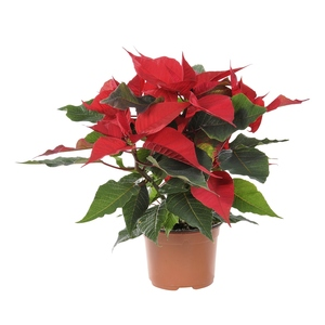 Poinsettia rouge en pot Ø 10.5 cm 824463