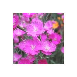 Oeillet Carnelia. La coupe de 20 cm 47388