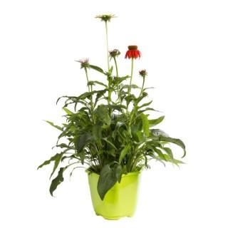 Plantes vivaces variées fleuries. Le pot de 2 litres 835301
