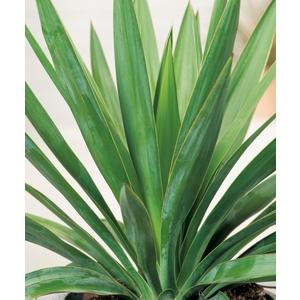Yucca Gloriosa - pot 10 L 836668