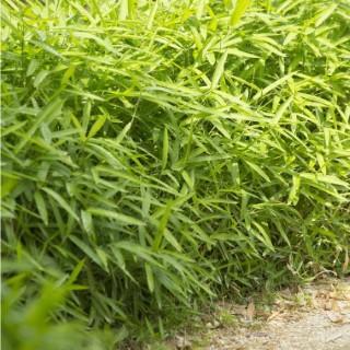 Bambou Nana vert en pot de 10 L 837235