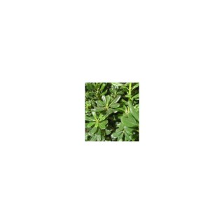 Pittosporum (PITTOSPORUM TOBIRA) Le pot de 18 litres 837273