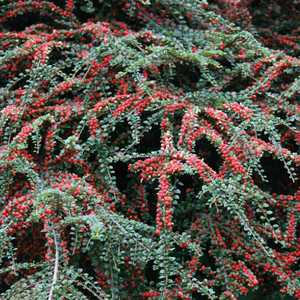 Cotoneaster à baies rouges – Pot de 3L 840984