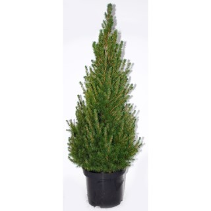 Picea Glauca Conica (épinette blanche) 40 ? 50 en pot de 5 L vert 841170