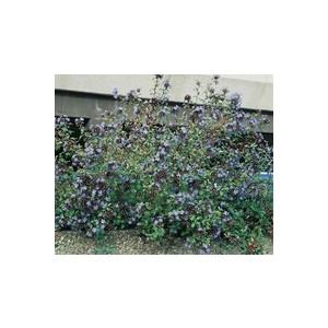 Ceratostigma Willmottianum ou Plumbago de Wilmott bleu en pot de 3 L 841628