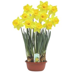 Narcisse. La coupe de 16 cm 841859