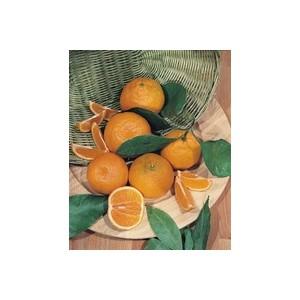 Oranger en conteneur de 70 L 140415