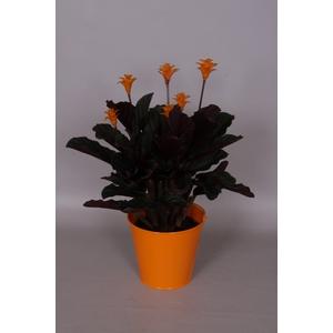 Calathea Crocata avec cache-pot 848258