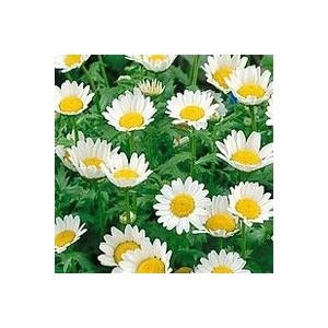 Chrysanthemum Paludosum. Le pot de 10.5 cm 850672