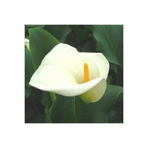 Arum blanc à grandes fleurs. Le pot de 2 litres 215140