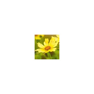 Coréopsis vivace. La coupe de 25 cm 128656