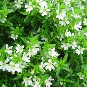 Cuphea Hyssopifolia. La coupe 260708