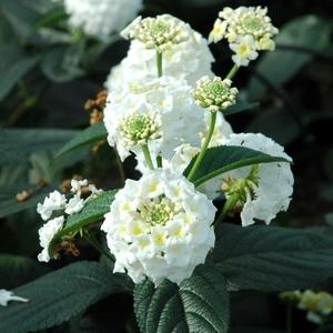 Lantana Hybride Avalanche. Le pot de 9x9 cm 453233