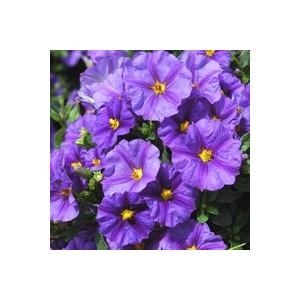 Solanum rantonnetii bleu en coupe Ø 45 cm 394832