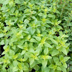 Basilic Citron. Le pot de 1 litre 632210