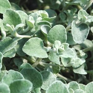 Gnaphalium. Le pot de 10.5 cm 878820
