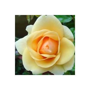 Rosier miniature multicolore en pot de 1 L Ø 13-15 854454