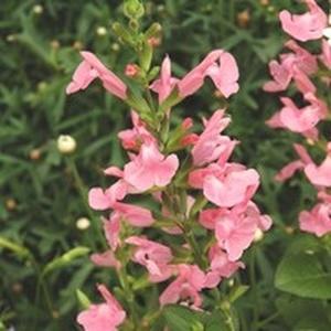Salvia jamensis rose en pot de 5 L v 185242