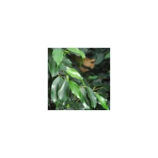 Ficus benjamina Exotica 859509