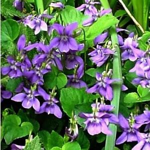 Violette odorante bleue en pot de 1 L 467418