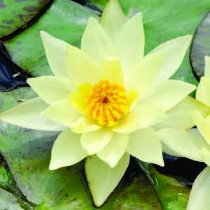 Nénuphar 'Pygmaea Helvola', variété naine 858766